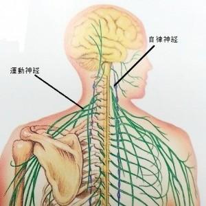 自律神経と運動神経