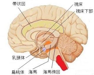 大脳辺縁系の図