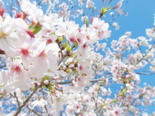 桜が芽吹く