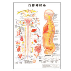 自律神経の図